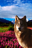 Portrait of a wolf in front of a field of fireweed wildflowers, glacial hills in the background. Alaska.
