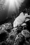 Santa Cruz Island, Channel Islands National Park and National Marine Sanctuary, California; a Garibaldi (Hypsypops rubicundus) fish, Purple Sea Urchins (Strongylocentrotus purpuratus) and Red Sea Urchins (Strongylocentrotus franciscanus) with sun rays streaming through the blue water above