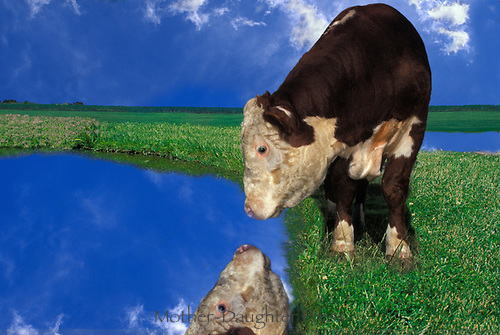 Dreams: Cow sees reflection, Missouri,