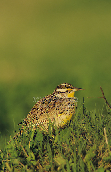Eastern Meadowlark, Sturnella magna, adult, Willacy County, Rio Grande Valley, Texas, USA, April 2004