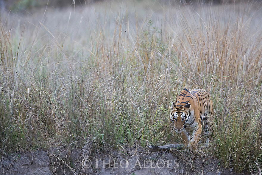 Bengal tigress coming out of tall, dry grass early morning, dry season