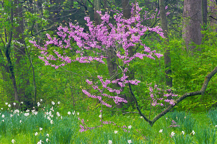 Redbud tree in bloom at The Morton Arboretum; Lisle, IL