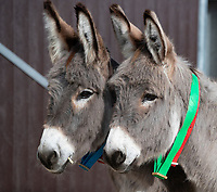 BNPS.co.uk (01202) 558833. <br /> Pic: CorinMesser/BNPS<br /> <br /> Ears pricked as class gets underway...<br /> <br /> A donkey sanctuary is running its own 'finishing school' to help the animals adjust to the outside world once they are re-homed.<br /> <br /> The 12 week program, initiated by The Donkey Sanctuary in Sidmouth, Devon, is believed to be the first of its kind in Britain.<br /> <br /> Activities include walking under bunting, navigating traffic cones and getting used to people carrying umbrellas.<br /> <br /> There are also tutorials on feeding, grooming and handling for the donkeys' prospective guardians.<br /> <br /> The initiative started in November 2019, with a current intake of 31 donkeys. Eight donkeys having already gone to homes.