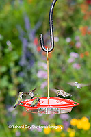 01162-12504 Ruby-throated Hummingbirds (Archilochus colubris) at feeder by flower garden, Marion Co.  IL