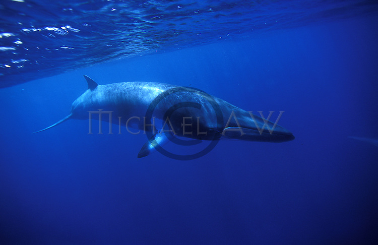 Minke whale in Blue - Balaeonoptera acutorostrata - near surface. Great Barrier Reef, Queensland, Australia