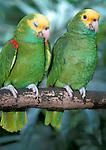 Yellow Crowned Amazon, Amazona ochrocephala, Parrot, Belize, captive, pair on branch with one sleeping.Belize....