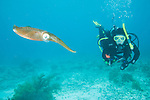 Bonaire, Netherlands Antilles; a Caribbean Reef Squid (Sepioteuthis sepioidea) swims next to a scuba diver in the shallow blue water above the coral reef , Copyright © Matthew Meier, matthewmeierphoto.com All Rights Reserved