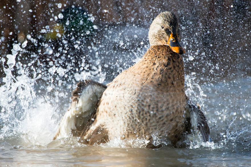 A hen Mallard splashes down in a wetland near Bozeman, Montana.