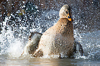 A hen Mallard splashes down in a wetland near Bozeman, Montana.
