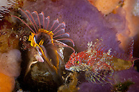 Scalyhead Sculpin ( Artedius harringtoni ) beside a feeding giant Acorn Barnacle, underwater in Haida Gwaii, British Columbia, Canada.