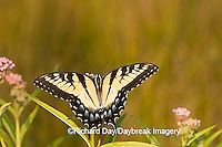 03023-025.09 Eastern Tiger Swallowtail (Papilio glaucus) on Swamp Milkweed (Asclepias incarnata) Marion Co.  IL