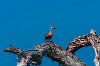 Wild duck, Yala National Park, Southern Province, Sri Lanka.