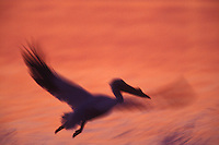 American white pelican (Pelecanus erythrorhynchos) taking off at sunrise.