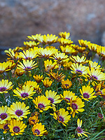 Osteospermum ecklonis Blue Eyed Beauty, African Daisy flowering in Living Desert, Palm Springs, Ca.
