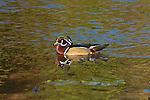 Wood Duck drake (male)