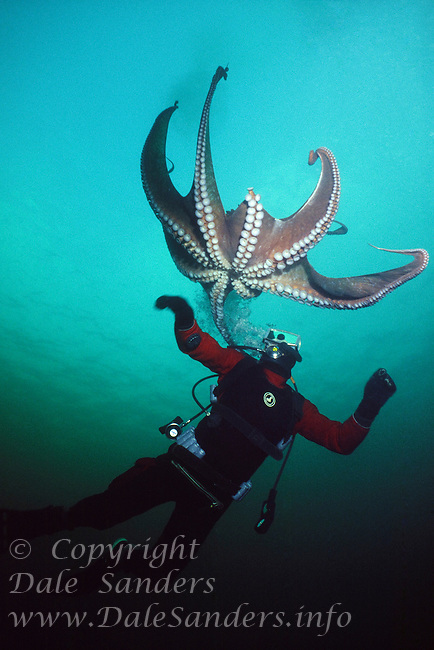 Diver and Giant Pacific Octopus (Octopus dolfleini) underwater in Discovery Passage, off Vancouver Island, British Columbia, Canada.