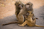 Chacma Baboon (Papio ursinus) mother with young being groomed, Kruger National Park, South Africa
