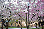 Cherry blossoms on Boston Common, Boston, Massachusetts, USA