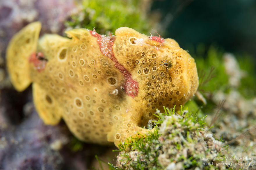 Dumaguete, Dauin, Negros Oriental, Philippines; a yellow and red colored, juvenile painted frogfish, hiding amongst green algae and a purple sponge