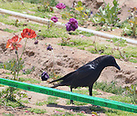 A Crow seen among the flowers at  the Flowerfields, in Carlsbad, CA, on Wednesday, April 27, 2016. Photo by Jim Peppler. Copyright Jim Peppler  2016.
