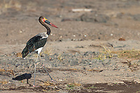 The saddle-billed stork is one of southern Africa's tallest and most spectacular birds.  This is a juvenile.