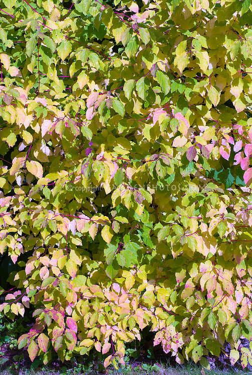 Cornus sanguinea Midwinter Fire in late summer turning to autumn color foliage