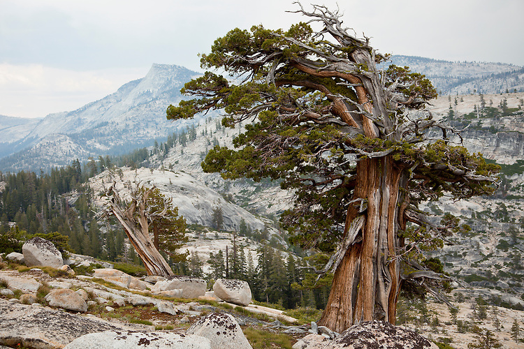 Weather ravaged trees dominate the bare granite slopes of Olmstead Point along the Tioga Pass road in Yosemite NP, California.