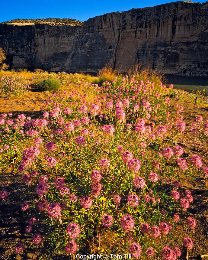 Summer Bee Flowers on the banks of the Green River, Dinosaur National Monument, Utah