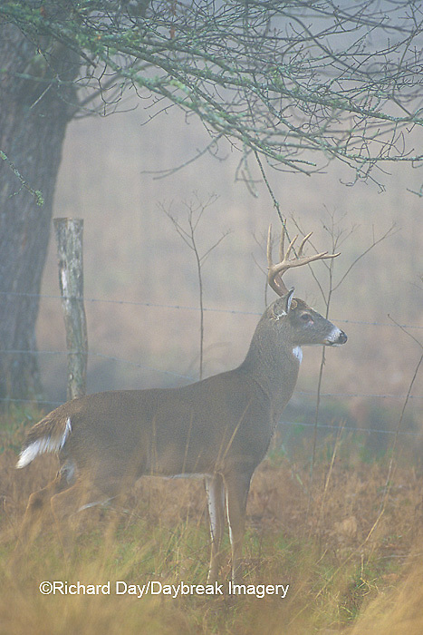 01982-04011  White-tailed Deer (Odocoileus virginianus) 8 - point buck in fog near fence  Great Smoky Mountains NP  TN