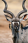 Yellow-Billed Oxpecker perch on a Greater Kudu, Sabi Sands Game Reserve, South Africa