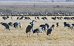 March 21, 2018: Sandhill cranes settle into feeding in the wetlands and fields of the San Luis Valley.  Each spring, as many as 27,000 sandhill cranes migrate through Colorado's San Luis Valley and the Monte Vista National Wildlife Refuge, Monte Vista, Colorado