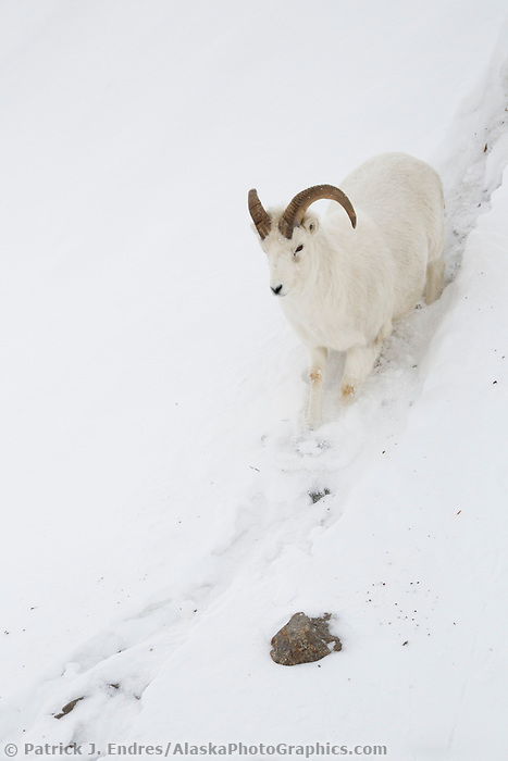A young dall sheep ram trudges through a deep snow bank in the Brooks Range mountains of Alaska's Arctic.