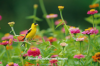 01640-09112 American Goldfinch (Carduelis tristis) male on zinnia (Zinnia sp.) Marion Co. IL
