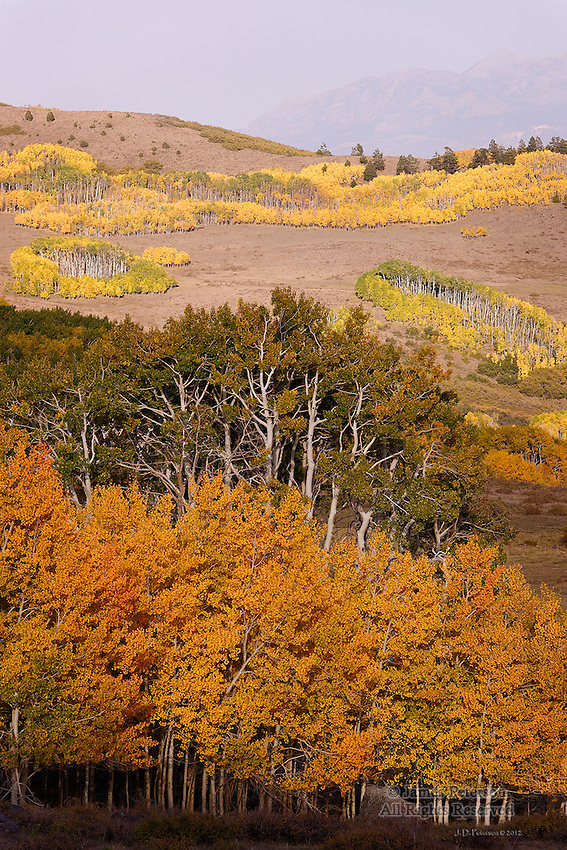 Generations of Aspens, Boulder Mountain, Utah