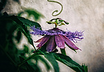 I love finding art in every day objects, this Passion flower found in my back yard, Los Angeles CA. July 1, 2017,  2017. ©Fitzroy Barrett