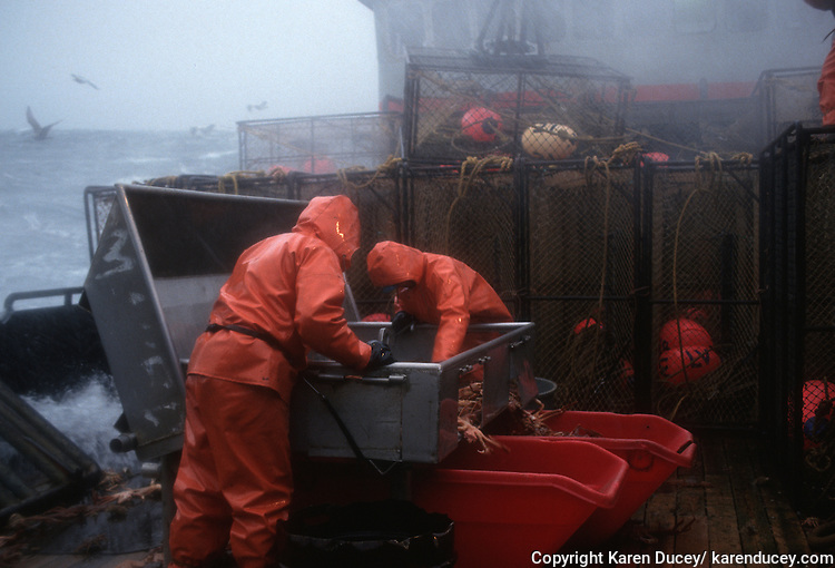 Deckhand sort crab onboard the F/V Maverick while crab fishing on the Bering Sea.