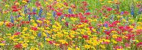 980000008 panoramic field of wildflowers with brilliant red drummonds phlox phlox drummondii and other wildflowers including some texas bluebonnets lupinus texensis in de witt county texas