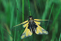 Owlfly (Libelloides coccajus), adult, Switzerland