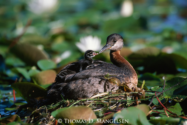 Red-necked Grebe with chick laying on its back