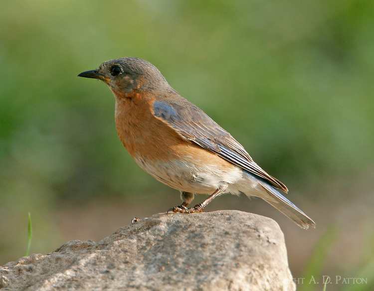 Adult female eastern bluebird on rock