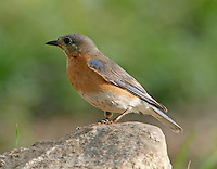 Adult female eastern bluebird on rock
