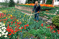 30 year old female gardener watering prize winning tulips.  Edina  Minnesota USA