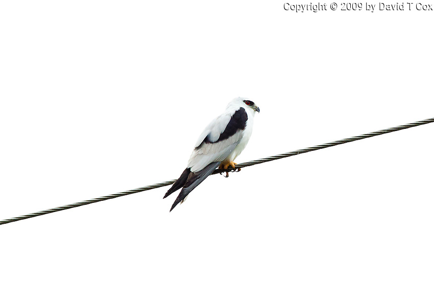 Black-Shouldered Kite, Yuragir NP, Australia