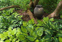 Beautiful shade garden with hostas, garden ornament urn pot, entwined around tree trunk. Includes Hosta 'Striptease' at far right and left.