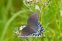 03029-01406 Spicebush Swallowtail butterfly (Papilio troilus) on Swamp Milkweed (Asclepias incarnata) Marion Co., IL
