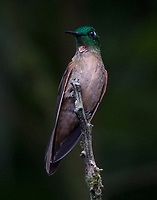 Male fawn-breasted-brilliant