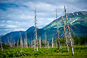 July 17 thru 23 / Alaska / Vacation and stock photography / Dead trees stand as a reminder of the 1964 earthquake and resulting Tsunami /  Trees were covered with salt water from the ocean and preserved / Photo by Bob Laramie