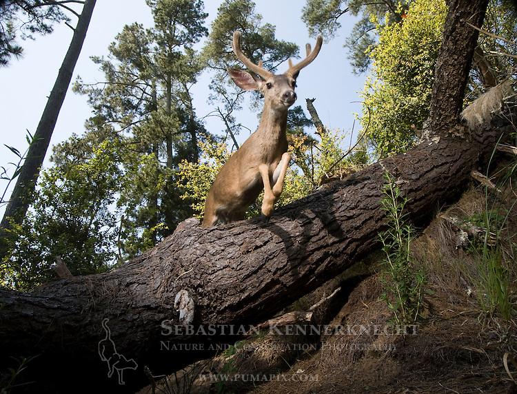 Mule Deer (Odocoileus hemionus) buck jumping over log in deciduous forest, Aptos, Monterey Bay, California