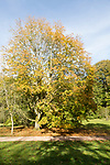 Norway maple tree, acer platanoides, National arboretum, Westonbirt arboretum, Gloucestershire, England, UK