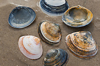 Feste Trogmuschel, Dickschalige Trogmuschel, Dicke Trogmuschel, Ovale Trogmuschel, Dickwandige Trogmuschel, Schale, Muschelschale am Strand, Spülsaum, Spisula solida, Atlantic surf clam, bar clam, thick trough shell, thick surfclam